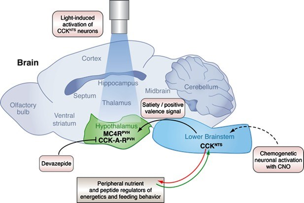 Neural Circuits: Decoding obesity in the brainstem   eLife