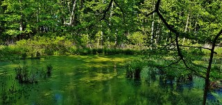 Forest Pond Scene 2016 | This is a picture of a swampy ...